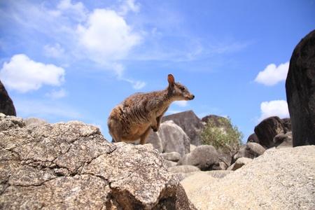 マリーバ岩ワラビー