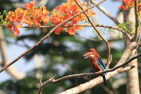 brown throated: white throated kingfisher Stock Photo