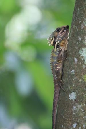 lizard in field: Boyd s Dragón del bosque Foto de archivo