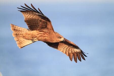 milvus: Black Kite flying at blue sky in Japan - Milvus migrans
