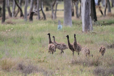 flightless bird: Flightless Australian bird, the Emu