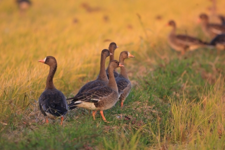 white fronted goose: Greater White-Fronted Goose