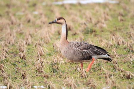 anser: Swan Goose  Anser cygnoides  Stock Photo