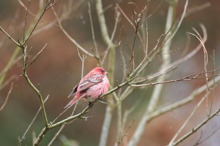 pallas: Pallas s Rosefinch  Carpodacus roseus  in Japan