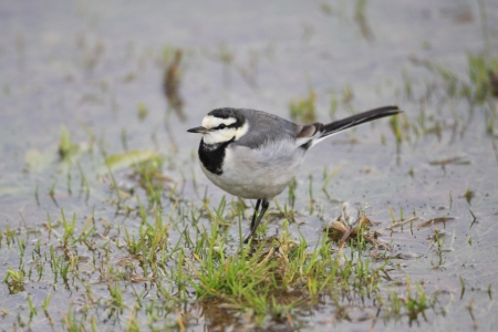motacillidae: White Wagtail  motacilla alba lugens  in Japan Stock Photo