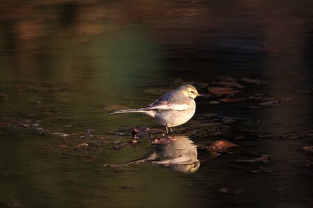 wagtail: Ballerina bianca Motacilla alba lugens in Giappone