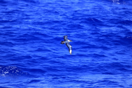 wedgetailed: Wedge-tailed shearwater  Puffinus pacificus  in Japan