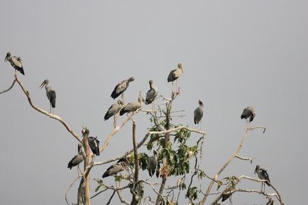 anastomus: Asian Openbill Stork  Anastomus oscitans  in Thailand