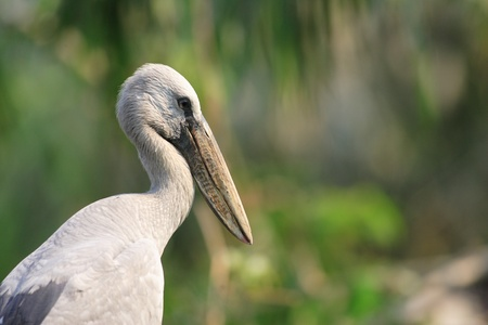 openbill: Asian Openbill Stork  Anastomus oscitans  in Thailand