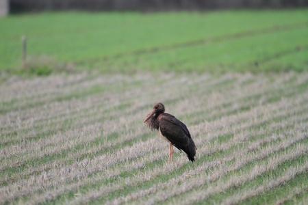 black stork: Negro Cig�e�a Ciconia nigra en Jap�n
