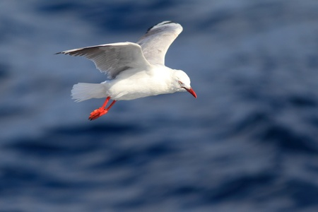 A silver gull fling over  the sea photo