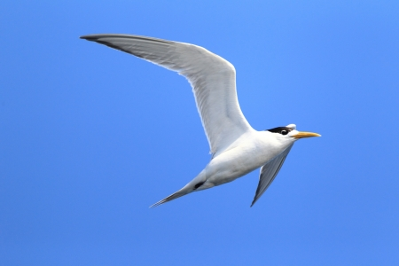 greater: Greater Crested Tern  Sterna bergii  flying at Australia