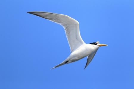 Greater Crested Tern  Sterna bergii  flying at Australia