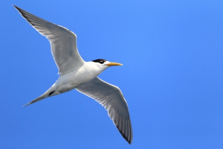 Greater Crested Tern  Sterna bergii  flying at Australia photo