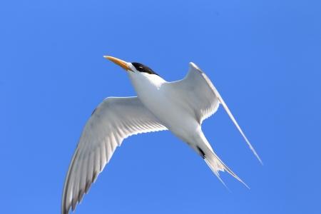 swift: Greater Crested Tern  Sterna bergii  flying at Australia
