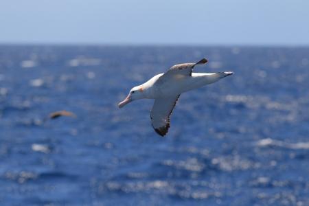 wandering: Wandering Albatross  Diomedea exulans gibsoni  at Australia