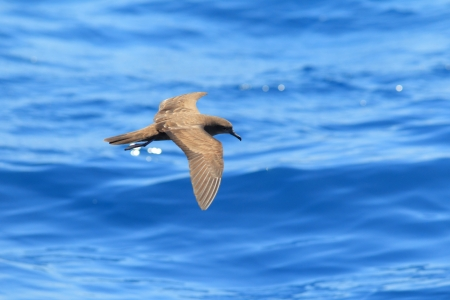 wedgetailed: Wedge-tailed Shearwater  Procellaria pacifica  in Australia
