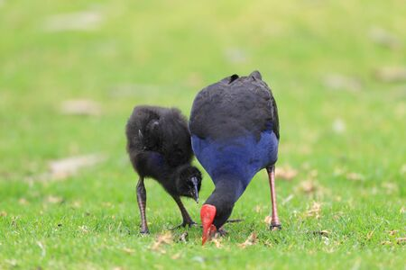 Purple Swamphen  Porphyrio porphyrio  in Royal N P, NSW,Australia photo