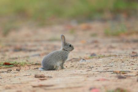 european rabbit: European Rabbit  Oryctolagus cuniculus  Stock Photo