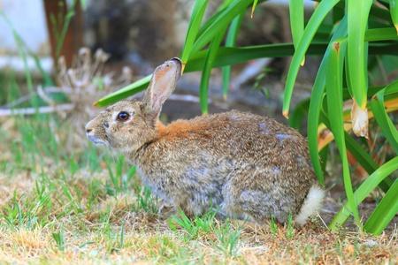 ヨーロッパのウサギの病理学 写真素材