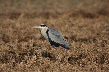wader: Grey heron  Ardea cinerea  in Japan