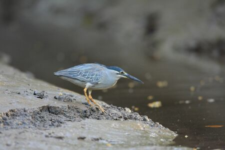 Striated heron  Butorides striatus  in Thailand photo