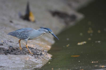 breeder: Striated heron  Butorides striatus  in Thailand