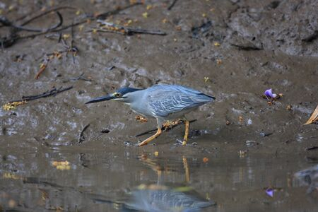 striated: Striated heron  Butorides striatus  in Thailand