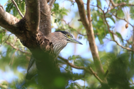 breeder: Rufous Night Heron  Nycticorax caledonicus  in Australia Stock Photo