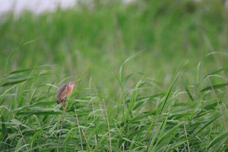 migrating: Yellow Bittern  Ixobrychus sinensis  in Japan