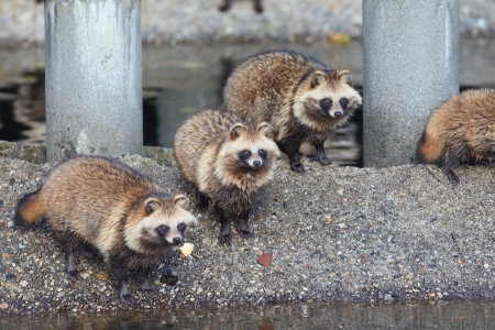 Raccoon Dog  Nyctereutes procyonoides  in Japan Stock Photo