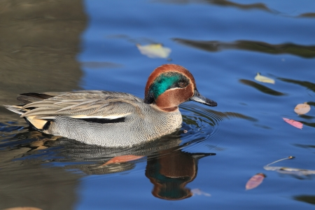 Common Teal or Eurasian Teal  Anas crecca  Stock Photo - 16973332