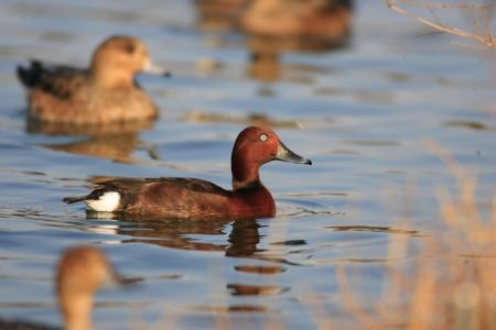 ferruginous: Ferruginous Duck  Aythya nyroca  in water