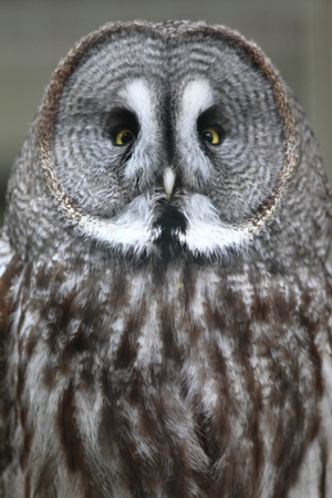 Great Grey Owl  Strix nebulosa  photo