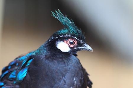 palawan: Palawan Peacock Pheasant napoleonis Polyplectron Foto de archivo