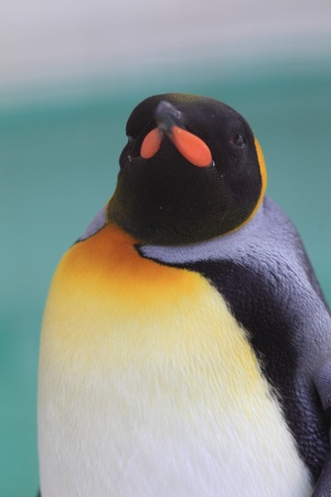 King Penguin   Aptenodytes patagonicus  photo