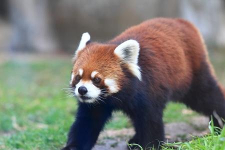 Red panda bear photo