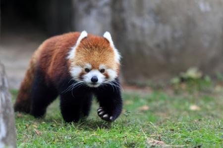 Red oso panda photo