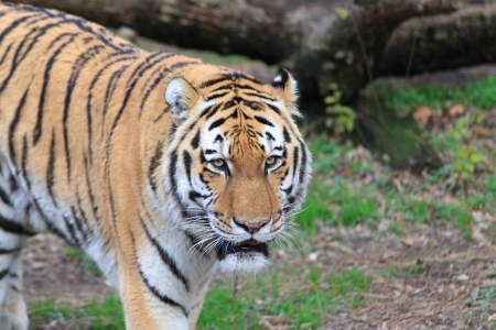 ussuri: Panthera tigris altaica male