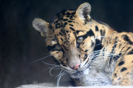 Clouded Leopard - Neofelis Nebulosa Stock Photo - 17434943