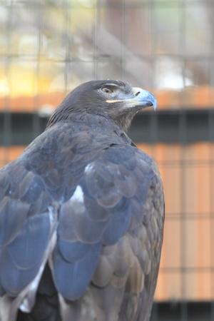 steppe eagle  Aquila nipalensis  photo