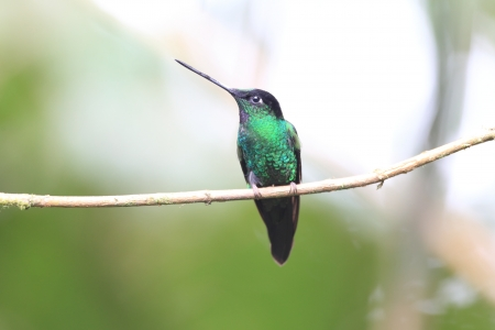 Buff-winged Starfrontlet  Coeligena lutetiae  in Yanacocha Resorve,Ecuador