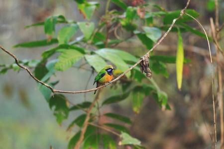 assam: Orange-bellied Leafbird  Chloropsis hardwickii  in Nameri N P Assam India