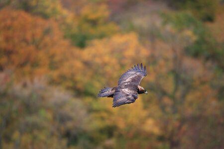 chrysaetos: Golden eagle  Aquila chrysaetos  flying In Japan