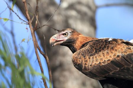 wedgetailed: Wedge-tailed Eagle  Aquila audax  in Australia