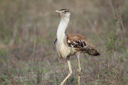Australian Bustard  Ardeotis australis  in Cairns,Australia photo