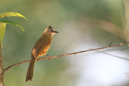 flavescens: Flavescent Bulbul  Pycnonotus flavescens  in Thailand Stock Photo