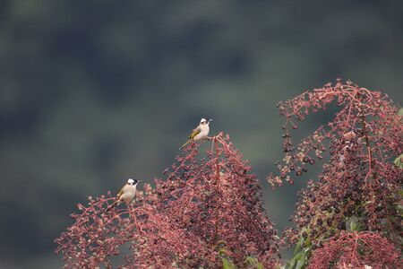 Light-vented Bulbul  Pycnonotus sinensis  in China photo