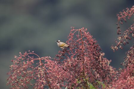 Light-vented Bulbul  Pycnonotus sinensis  in China photo