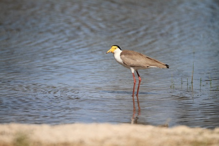 lapwing: Masked Lapwing Vanellus miles in Australia Stock Photo